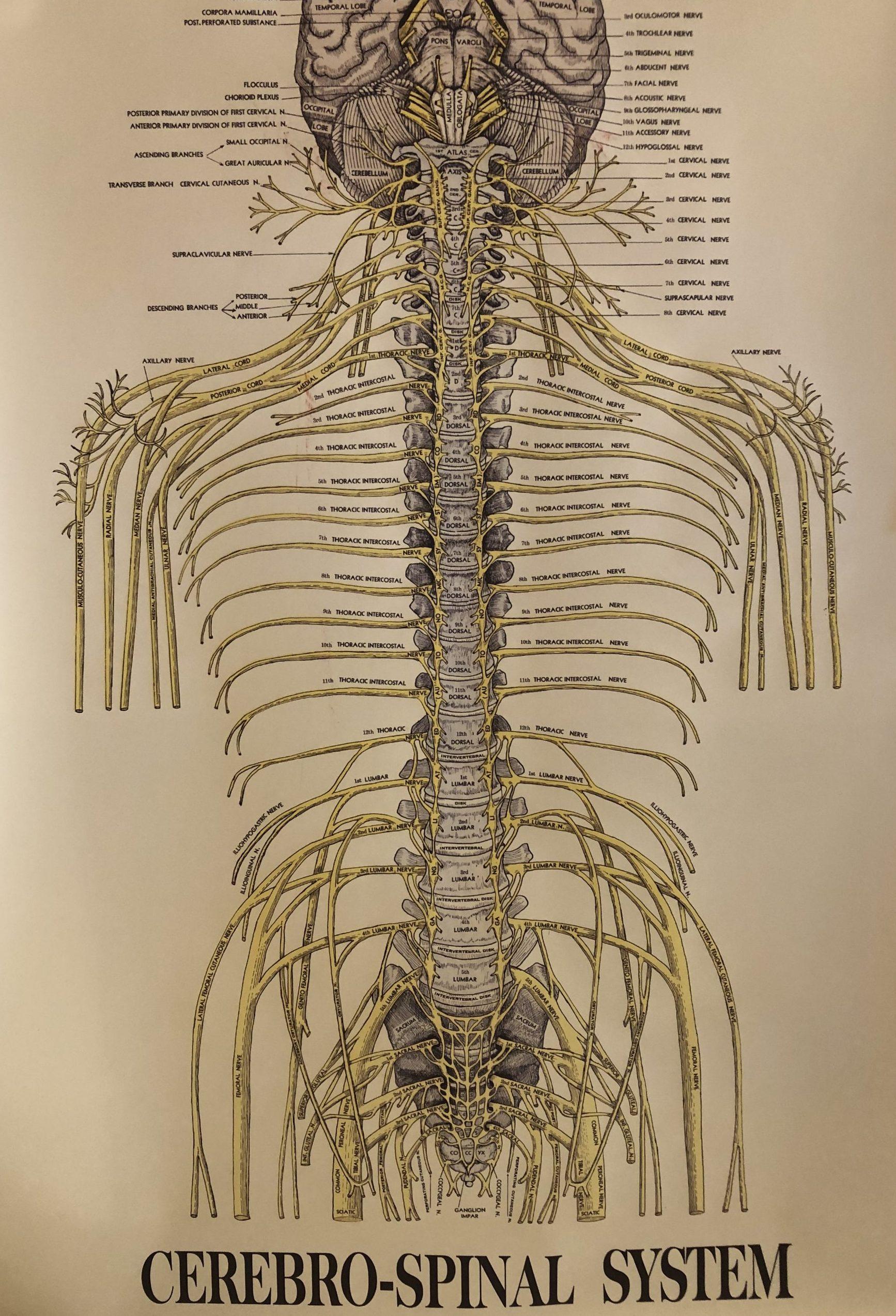 Die Wirbelsäule: Rückenmark und Nerven